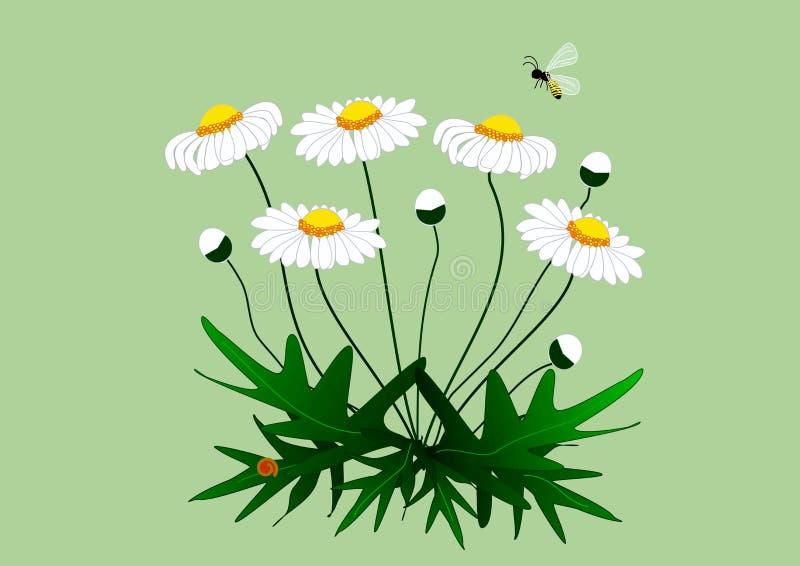 Zeichnung einer Anlage der Gänseblümchen mit Blumen stockbilder