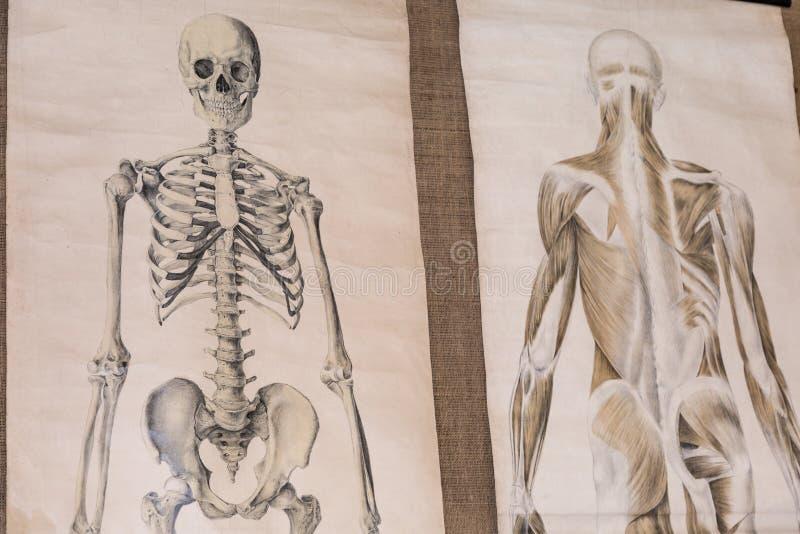 Zeichnung zwei der menschlichen Anatomie: Skelett-und Torso-Muskulatur stock abbildung