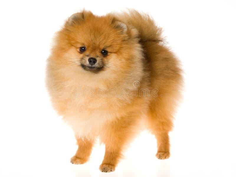 Zeigen Sie Meister Pomeranian auf weißem Hintergrund stockfoto