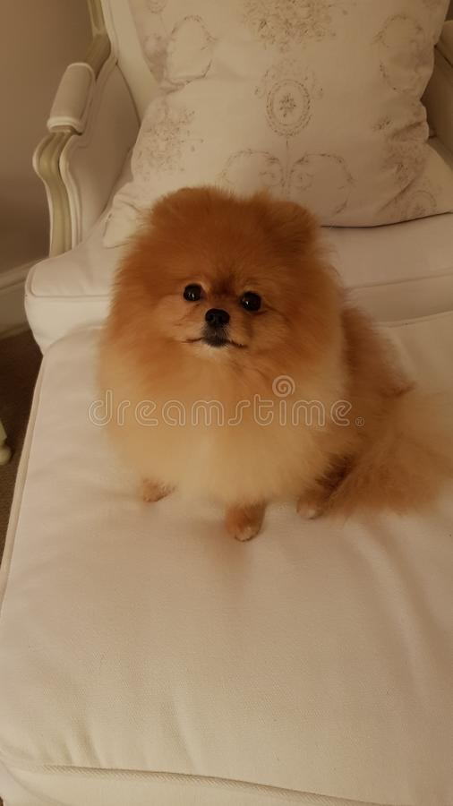 Zeigen Sie Meister Pomeranian Fred stockfotografie