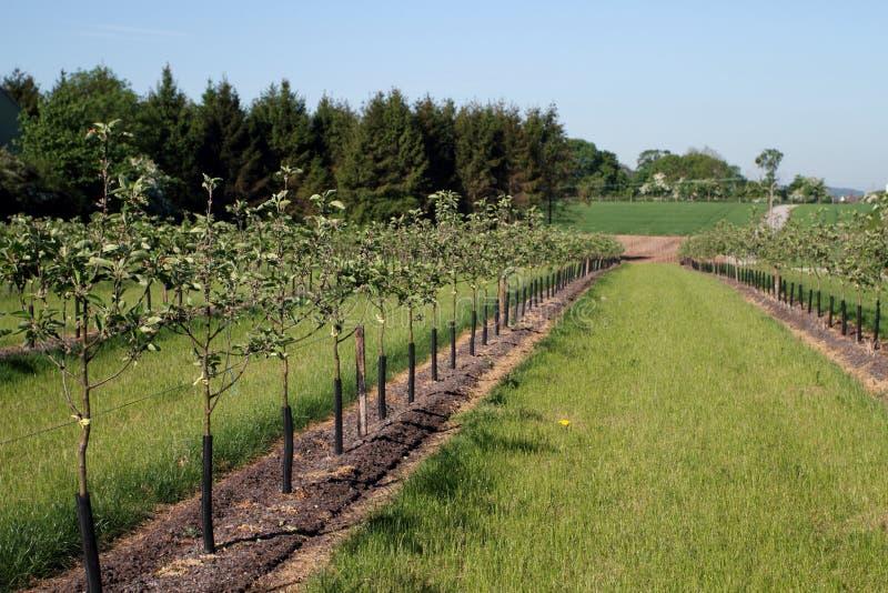Zeile der jungen Mostapfelbäume stockbilder