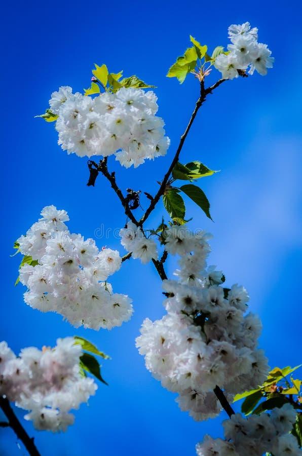 Zeit April Cherry Blossomss im Frühjahr lizenzfreie stockfotos