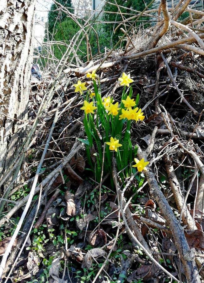 Zeit der Narzissenblumen im Frühjahr stockfotos