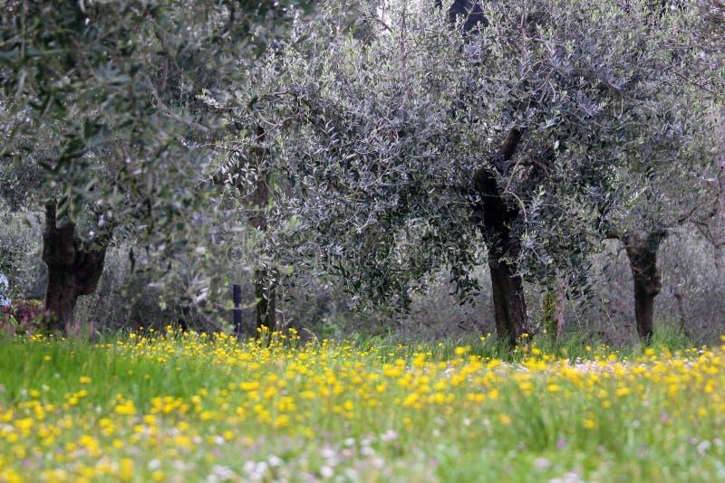 Zeit des Olivenhains im Frühjahr lizenzfreies stockbild