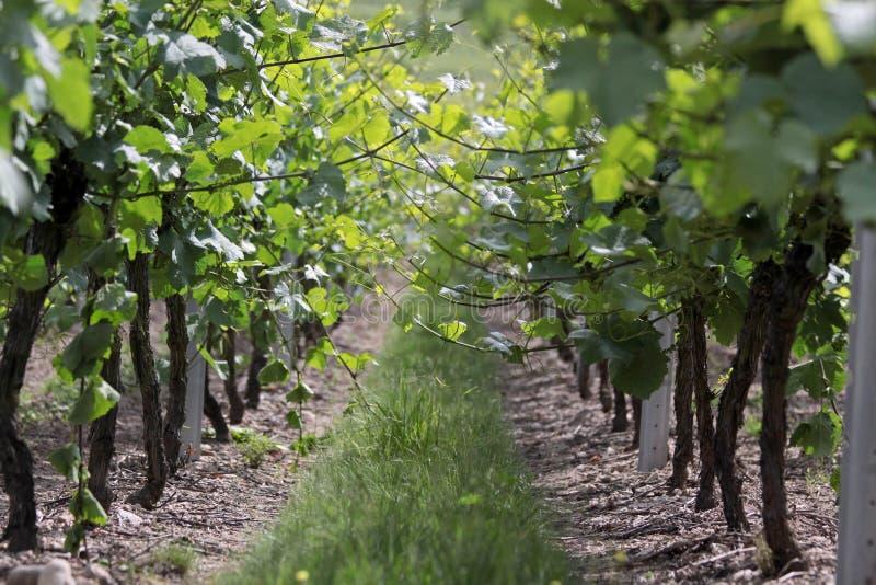 Zeit des Weinbergs im Frühjahr stockfotos