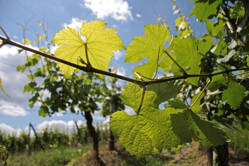 Zeit des Weinbergs im Frühjahr stockfoto