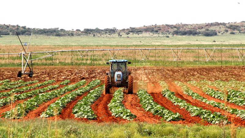 Zeit Punpkin-Landwirts im Frühjahr, Nordwesten nahe Ventersdorp, Südafrika stockbilder