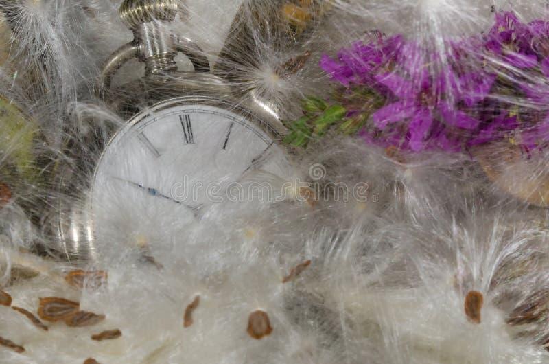 Zeitablauf: Taschen-Uhr, die in einem weichen Bett von Milkweed-Fasern stillsteht stockfotos