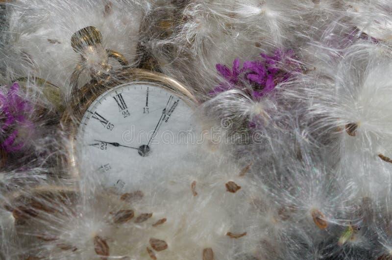Zeitablauf: Taschen-Uhr, die in einem weichen Bett von Milkweed-Fasern stillsteht lizenzfreies stockfoto