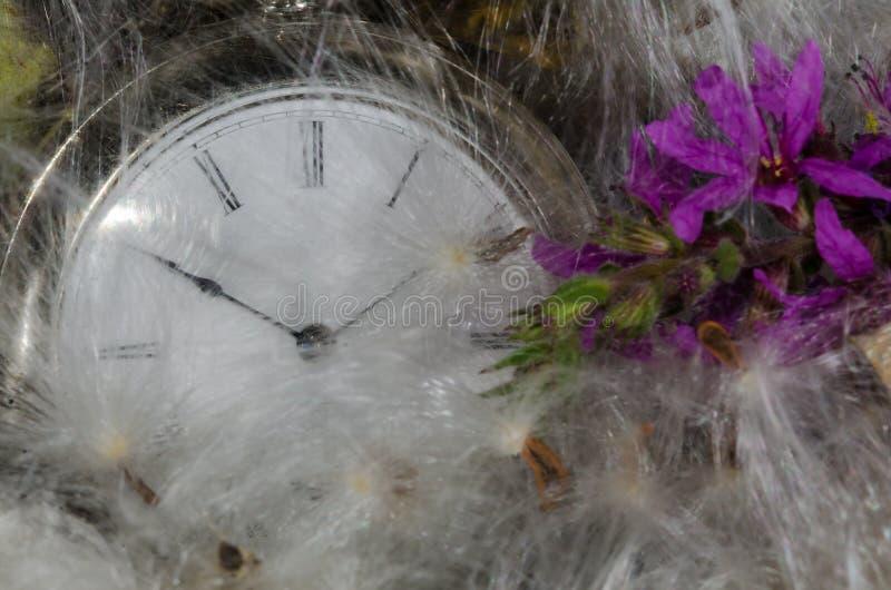 Zeitablauf: Taschen-Uhr, die in einem weichen Bett von Milkweed-Fasern stillsteht lizenzfreie stockfotos