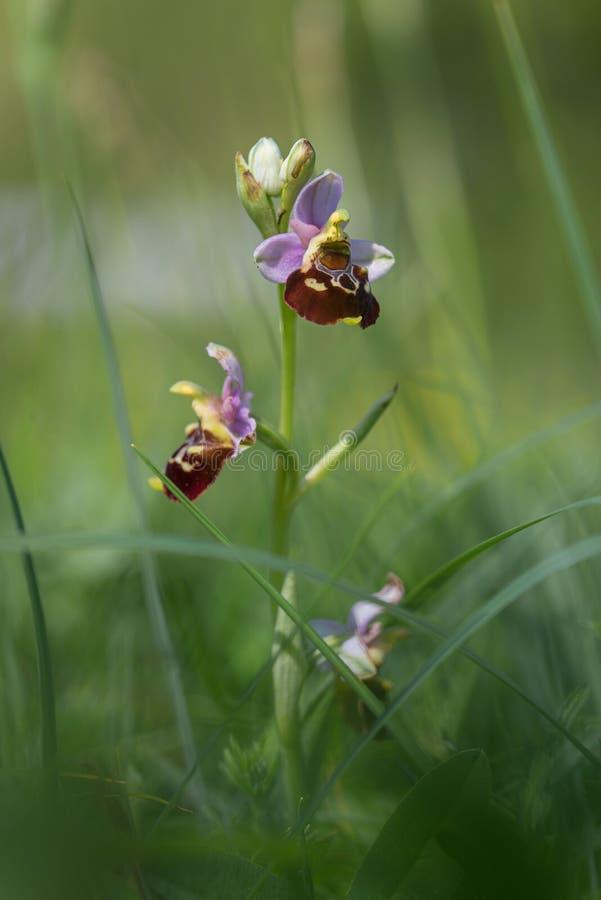 Zelden bijenorchidee - ophrys holoserica in groen gras stock fotografie