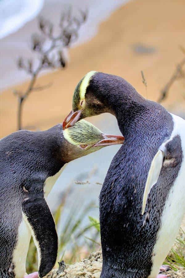 Zeldzaamste geel-Eyed Pinguïn, megadyptes antipodes, Nieuw Zeeland, Zuiden Islan royalty-vrije stock afbeeldingen