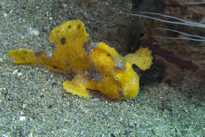 Zeldzame baby gele frogfish van Aalmoezenier Burgos, Leyte, Filippijnen royalty-vrije stock foto