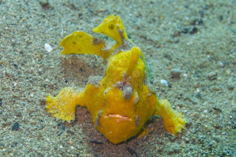 Zeldzame baby gele frogfish van Aalmoezenier Burgos, Leyte, Filippijnen royalty-vrije stock foto's
