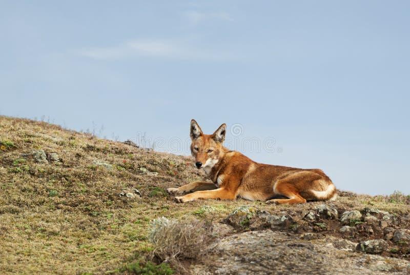 Zeldzame en bedreigde Ethiopische wolf die in de hooglanden van Baalbergen liggen, Ethiopië royalty-vrije stock fotografie