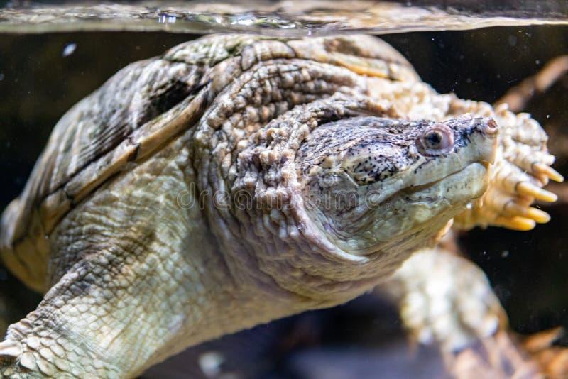 Zeldzame groene overzeese schildpad royalty-vrije stock foto