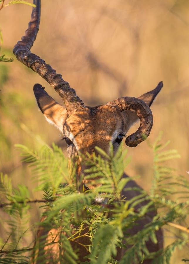 Zeldzame Impala stock afbeelding
