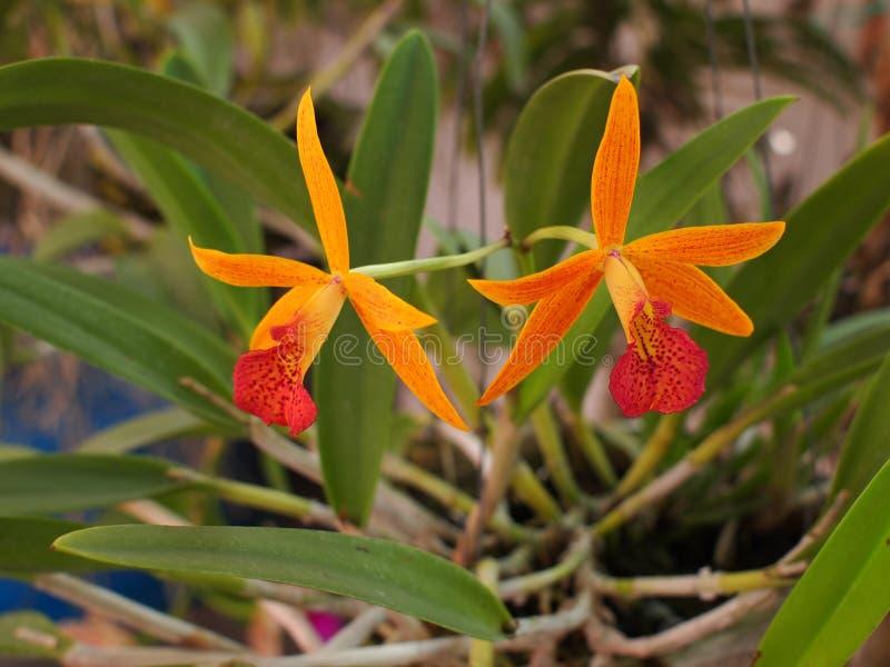 Zeldzame Orchidee stock afbeeldingen