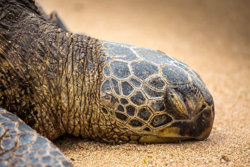 Zeldzame Slaap Hawaiiaanse Groene Zeeschildpad stock foto's