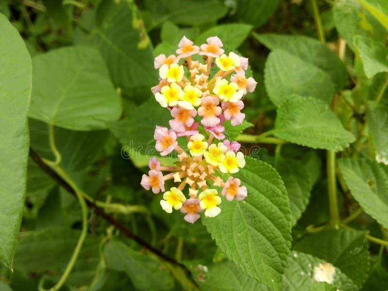 Zeldzame veelkleurige bloemen stock afbeelding