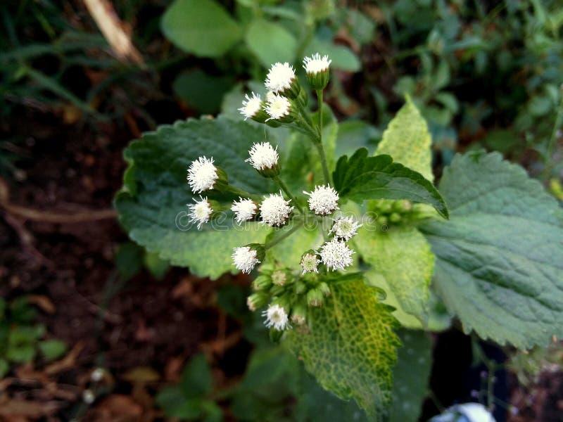 Zeldzame witte bloemen stock foto's