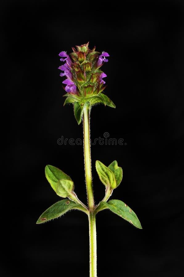 Zelf heel wildflower tegen zwarte royalty-vrije stock afbeeldingen