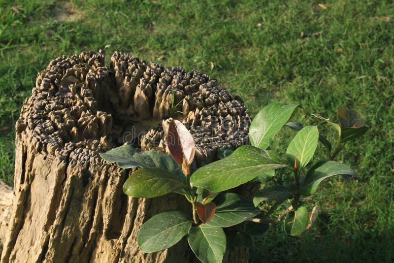 Zelfs heeft een dode boomboomstam potentieel om een nieuw begin van het leven te beginnen stock foto