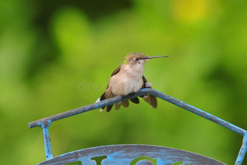 Zelfs van tijd tot tijd vergt een Kolibrie een rust royalty-vrije stock afbeelding