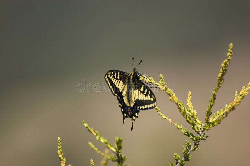 Zelicaon de Swallowtail Papilio do anis foto de stock royalty free