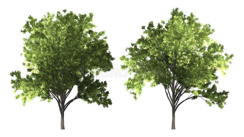 Zelkova serrata drzewo odizolowywający na białym tle z ścinek ścieżką obrazy stock