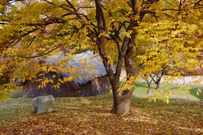 Zelkova serrata Tree in front of prehistoric house in autumn wit royalty free stock images