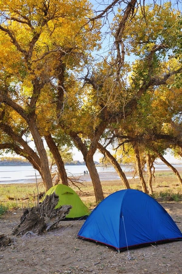 Zelte mit Populus euphratica Bäumen stockfotos