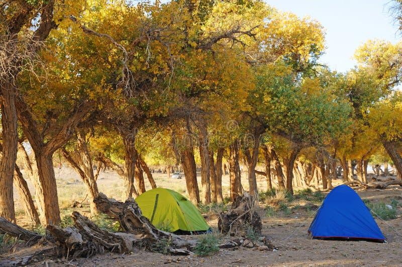 Zelte mit Populus euphratica Bäumen lizenzfreies stockfoto