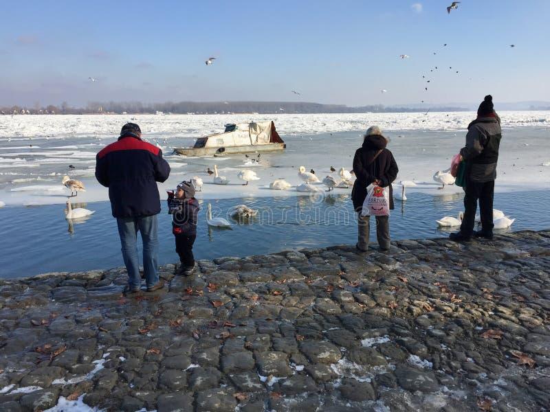 Zemun-` s Nachbarn, die Schwäne in der gefrorenen Donau einziehen stockfoto