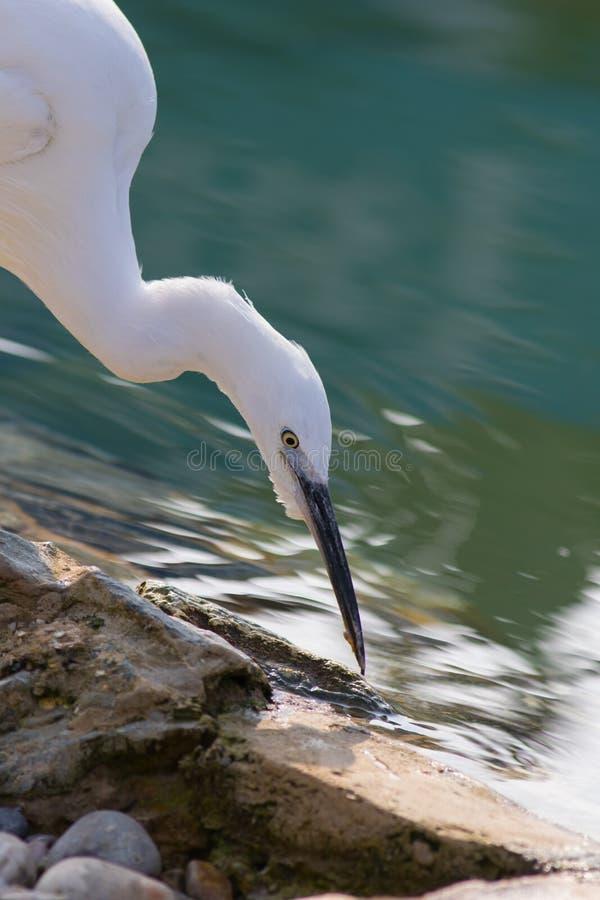 Zen-como a imagem da natureza de um pássaro branco puro do egret pequeno por um ser imagem de stock