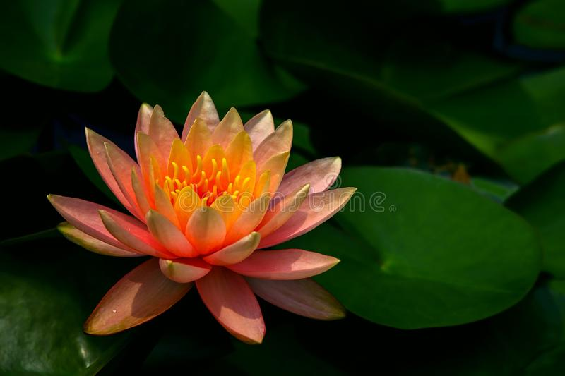 Zen garden water lily in full bloom royalty free stock photography
