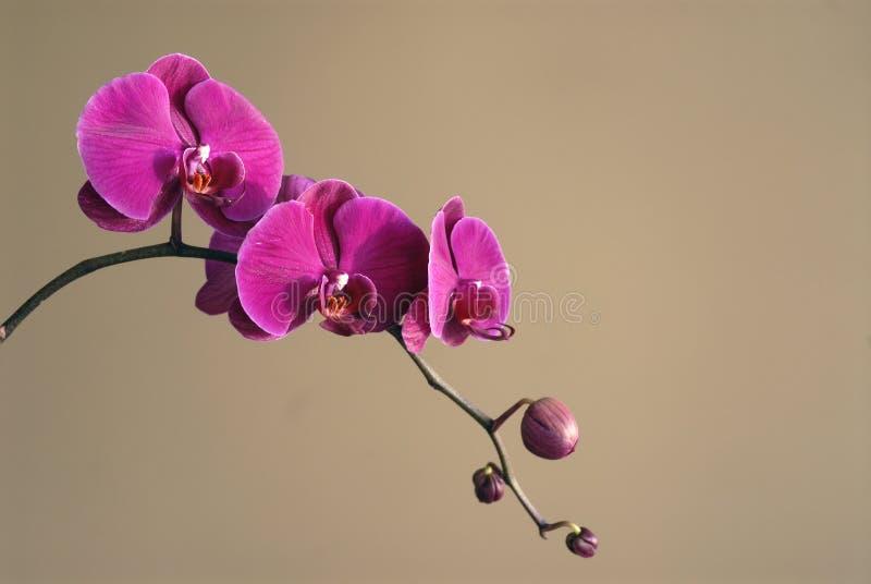 Zen Orchids stock image
