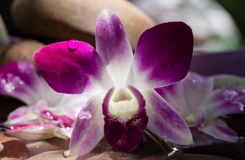 Zen Stones mit rosa Orchideenblumen-Morgenlicht stockfotografie