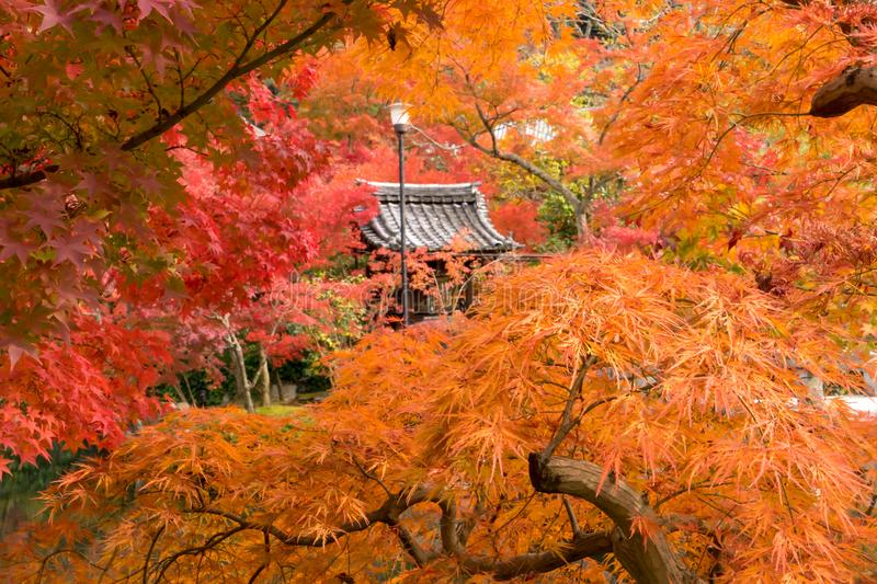 Zen temple roof among orange and red autumn trees in Kyoto. A Zen temple roof with one lantern among orange and red maple tree, kyoto, Japan stock photography