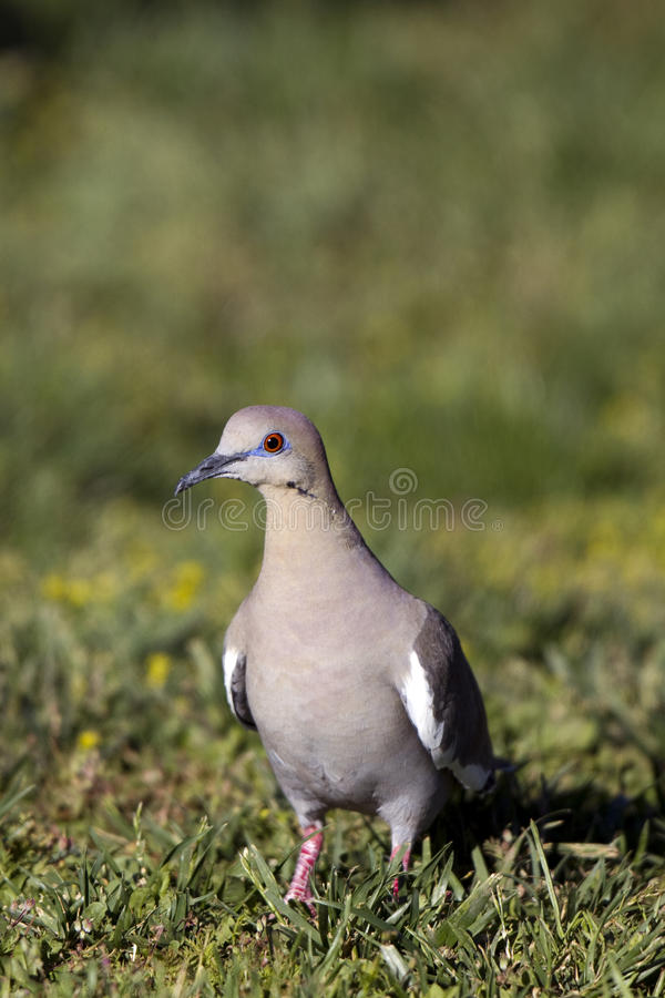 zenaida asiatica dove белое, котор подогнали стоковая фотография rf