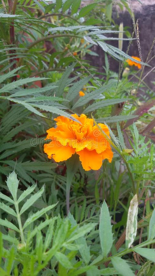 Zendu flower royalty free stock images