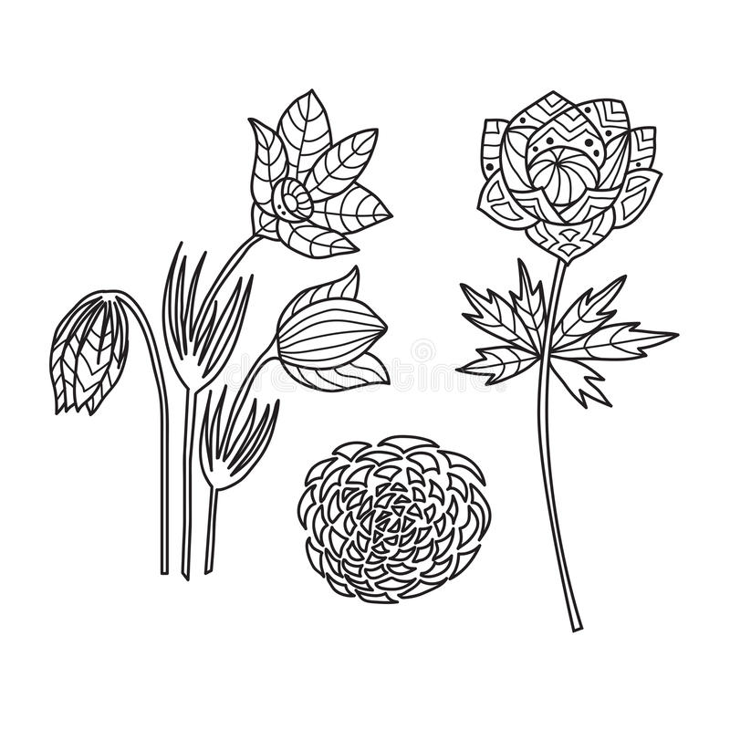 Zentangle the Baikal wildflowers anti stress Coloring. Zentangle the Baikal wildflowers for adult anti stress Coloring Page for art therapy, illustration in royalty free illustration