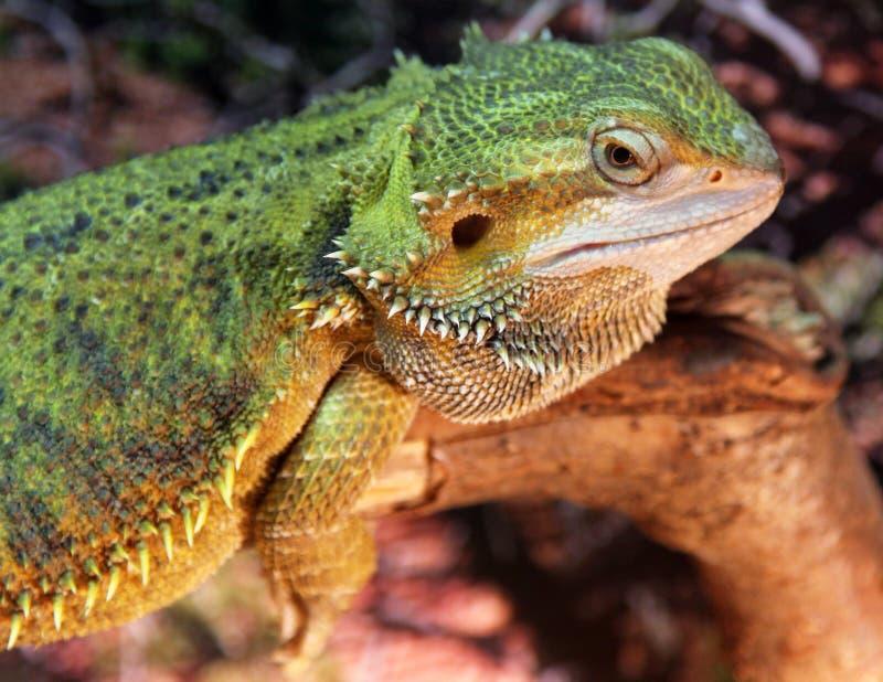 Zentrale oder inländische bärtige Dragon Pogona-vitticeps stockfotos
