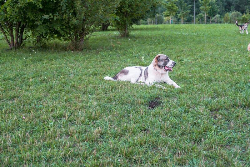 Zentraler asiatischer Schäferhund oder Alabai, ist eine alte Zucht des Hundes von den Regionen von Zentralasien lizenzfreies stockbild
