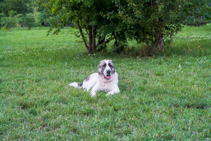 Zentraler asiatischer Schäferhund oder Alabai, ist eine alte Zucht des Hundes von den Regionen von Zentralasien stockbilder