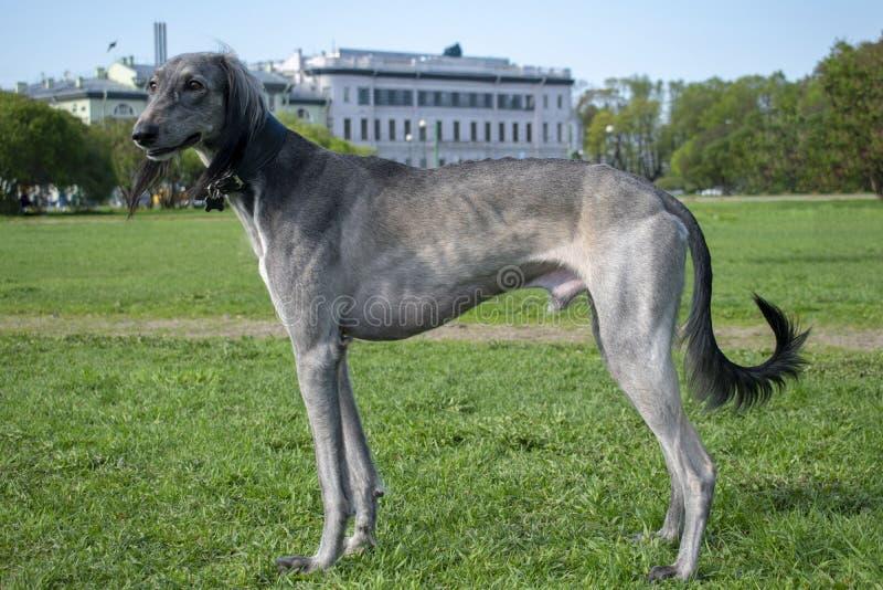 Zentraler asiatischer Windhund steht auf dem gr?nen Gras an einem sonnigen Tag Rest nach einer langen Reise stockbilder
