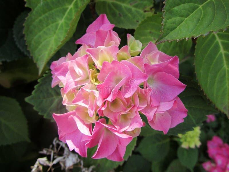 Zentrierte Blüte der Hortensie - Rosa lizenzfreie stockfotos