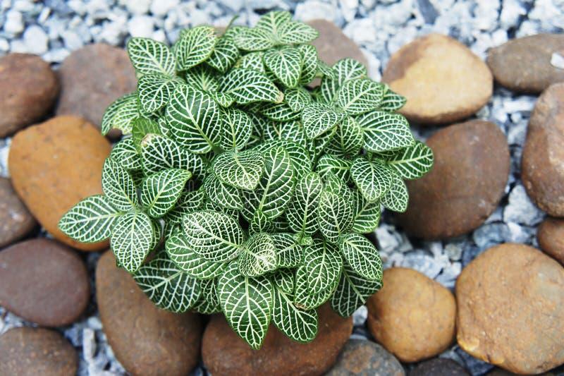 Zenuwinstallatie (Fittonia-verschaffeltii) royalty-vrije stock afbeeldingen