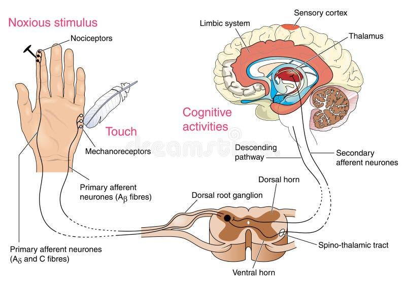 Zenuwreactie op pijn en aanraking vector illustratie