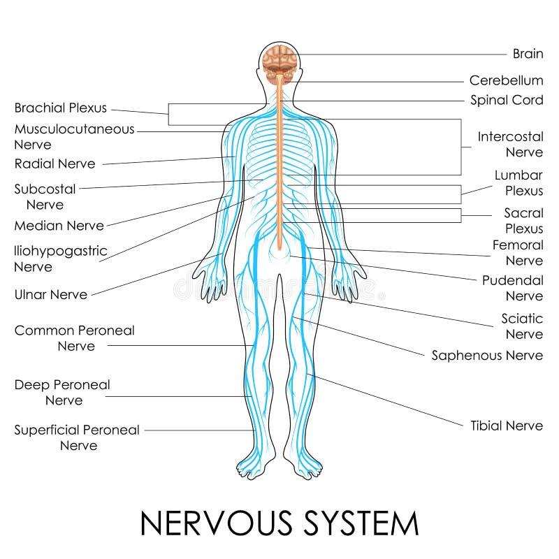 Zenuwstelsel stock illustratie